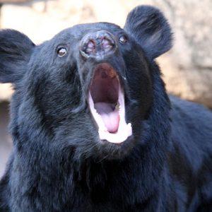 熊の出没、例年の10倍。練習は気をつけて。【コシヒカリ紅葉マラソンも中止】